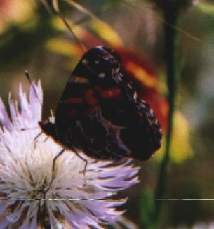 black/red/white butterfly on basketflower