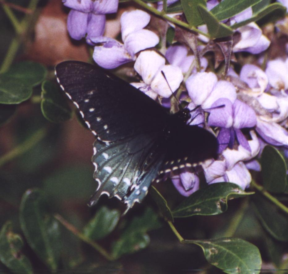 black butterfly with bluish back