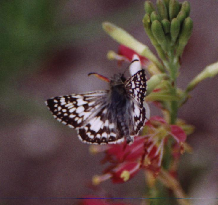 gray speckled butterfly